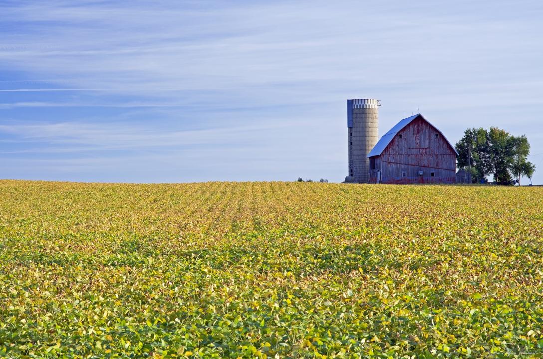 Minnesota Farm Scene Ripening Soy Beans